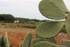 hint-inciri-opuntia-ficus-indica